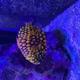 Australian Pineapplefish