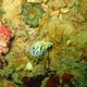 Mushroom Coral Reticulidia