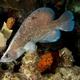 Greater Soapfish