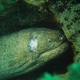 Yellowmargin Moray