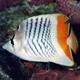 Madagascar Butterflyfish
