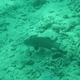 Marbled Coral Grouper