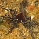 Mendosa Crab