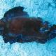 Elizabethan Sea Slug