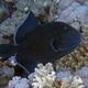 Blue Triggerfish