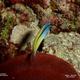 Red Sea Mimic Blenny