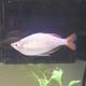 Dwarf Rainbowfish