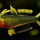 Forktail Rainbowfish