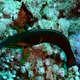 African Wrasse
