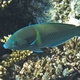 Blue-spotted Wrasse