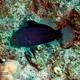 Red Sea Soapfish