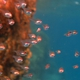 Ruby Cardinalfish
