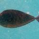 Sleek Unicornfish