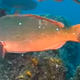 Pacific Creolefish