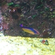 Flame Wrasse