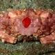 Redspot Sponge Crab