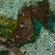 Estuary Seahorse