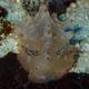 Batangas Nudibranch