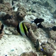 Moorish Idol