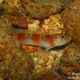Flagtail Shrimpgoby