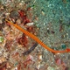 Orange-banded Pipefish