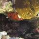 Shortfin Scorpionfish
