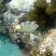Revillagigedo Sea Chub