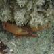 Lilac Coral Crab