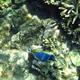 Five-saddle Parrotfish (juvenile)