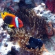 Red and Black Anemonefish
