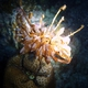 Indian Feather Star