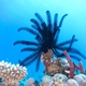 Spinose Feather Star
