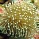 Flowerpot Coral