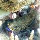 Snubnose Grouper
