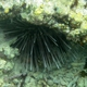 Needle-spined Sea Urchin
