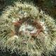 Beaded Anemone