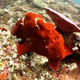 Giant Frogfish