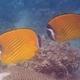 Blackcap Butterflyfish