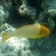 Bicolor Parrotfish  (Juvenile)