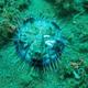 Varium Sea Urchin