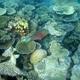 Roundhead Parrotfish