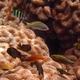 Hartzfeld's Cardinalfish