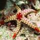 Elegant Sea Star