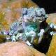 Corallimorph Decorator Crab
