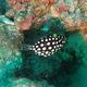 Clown Triggerfish (Juvenile)