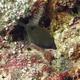 Spotted Boxfish