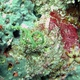 Tortured Black Coral Whip