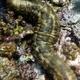 Graeffe's Sea Cucumber