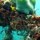 Yellowmargin Triggerfish (Juvenile)