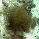 Frondy Black Coral
